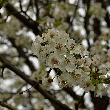 Pear Tree Blossom by Lawrence Ott