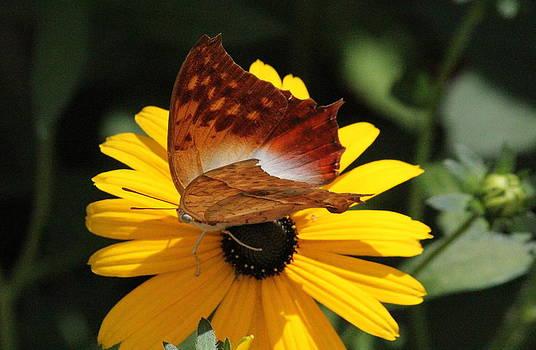 Rosanne Jordan - Pearl Charaxes Butterfly
