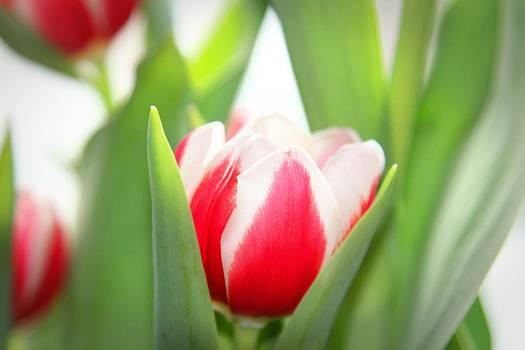Peek-a-boo Tulip by Patricia Davis