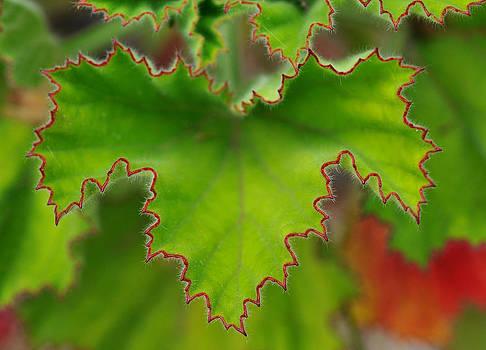 Pelargonium leaf by Henrique Souto