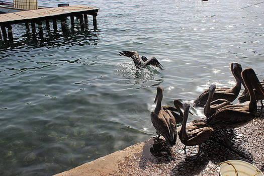 Pelican Arrival by Mark Perez