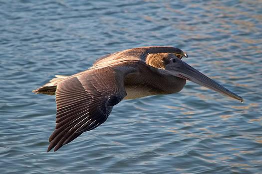 Pelican in flight by Robert Bascelli