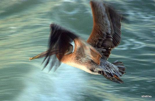 Pelican in Flight by Shayne Johnson Fleming