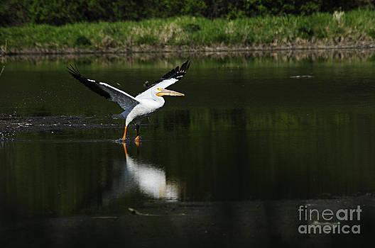 Larry Ricker - Pelican Takeoff
