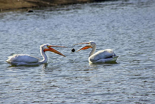 Diana Haronis - Pelicans Playing Catch
