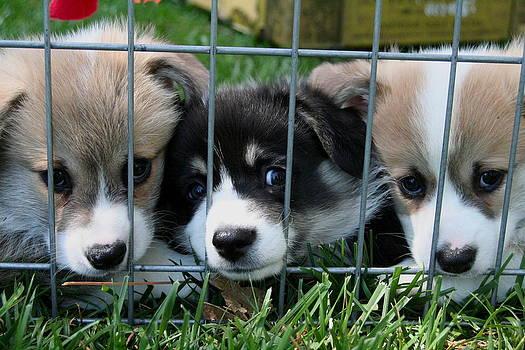 Pembroke Welsh Corgi Puppies In jail by Lisa Anne McKee