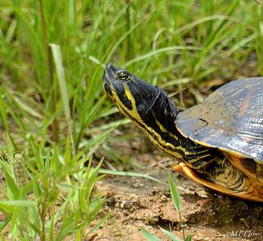 Maria Urso  - Peninsula Cooter Turtle