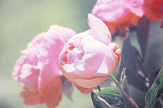 Peony 1 by Stephie Butler