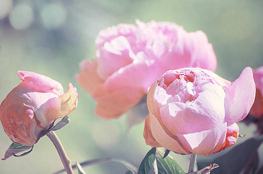 Peony 2 by Stephie Butler