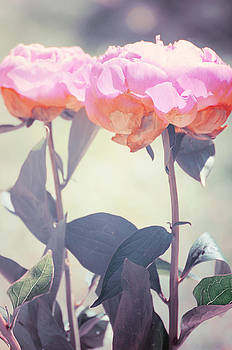 Peony 4 by Stephie Butler
