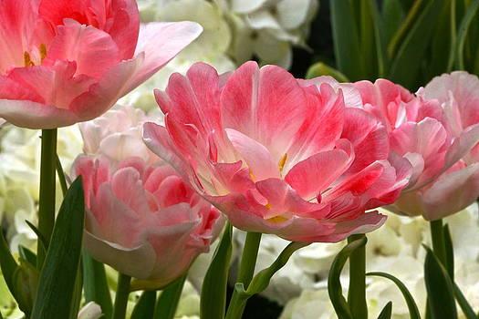 Byron Varvarigos - Peony Tulips Close Up