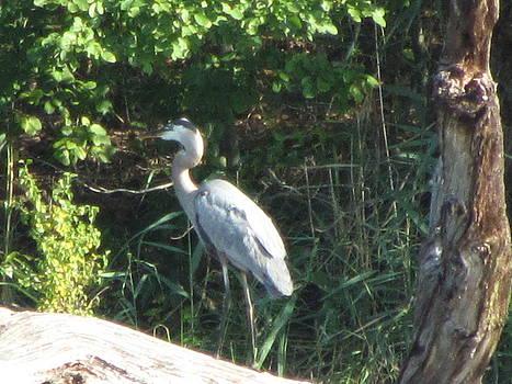 Perched Blue Heron Pondering by Debbie Nester