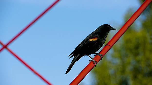 Red Wing Blackbird by Dirk Lightheart