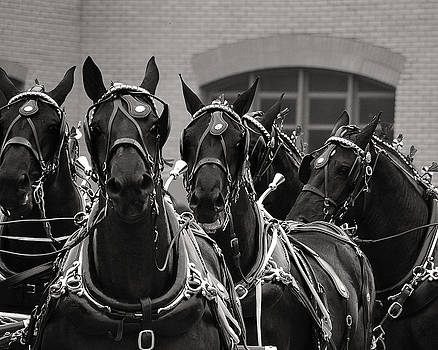 Percheron Horse Team v.2 2008 by Joseph Duba