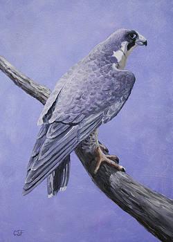 Crista Forest - Peregrine Falcon