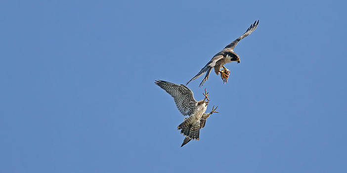 Peregrine Falcon by Jim Nelson