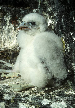 Steven Ralser - peregrine falcon