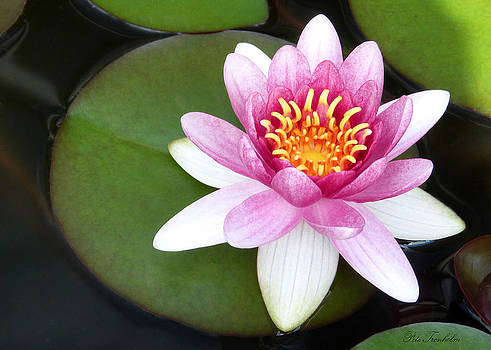 Perfect Water Lily by Pete Trenholm