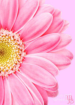 Persian Pink Daisy by Mindy Bench