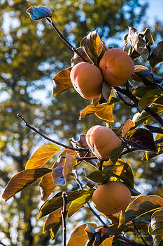 Mick Anderson - Persimmons Ready