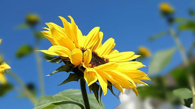 Petals ... So Yellow by Jacqueline Schreiber