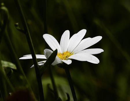 Petals of White by Lori Tambakis