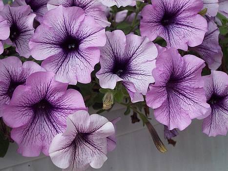 Petunia by Galina Todorova