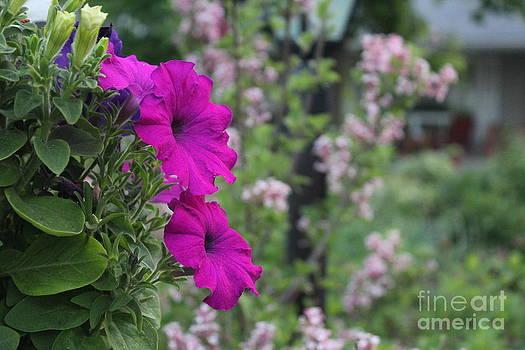 Petunias by Margaret Hamilton