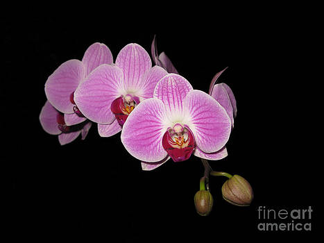Phalaenopsis on Black by Elizabeth Debenham