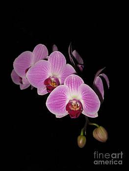 Phalaenopsis Orchid Beauty by Elizabeth Debenham