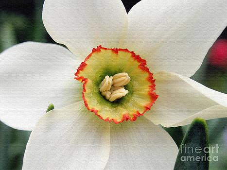Pheasant Eye Daffodil by Jack Gannon