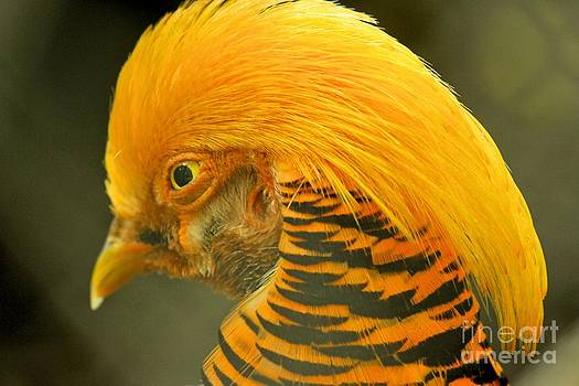 Adam Jewell - Pheasant With A Golden Mane