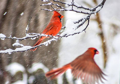 Photo Bomber Cardinal by Jackie Novak