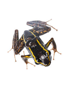 Phyllobates lugubris with a tadpole by JP Lawrence