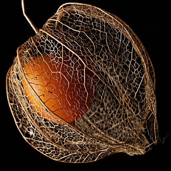 Physalis I by Henrique Souto