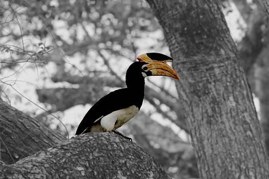 Ramabhadran Thirupattur - Pied Hornbill