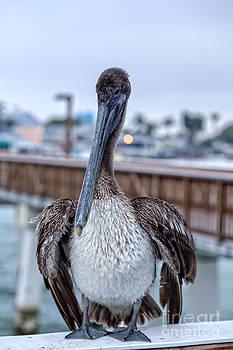 Edward Fielding - Pier Pelican