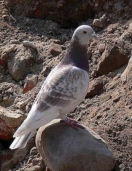 Pigeon by Bozena Zajaczkowska
