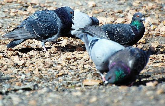 Pigeon Party by Don Mann