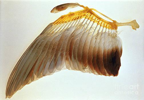 Biophoto Associates - Pigeon Wing