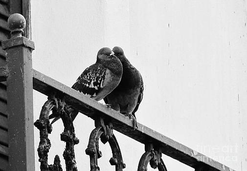 Pigeons by Meagan  Visser