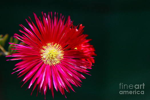 Pigface flower by Fir Mamat