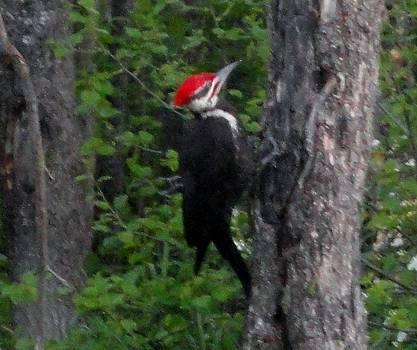 Pileated Woodpecker On Tree by Jody Benolken