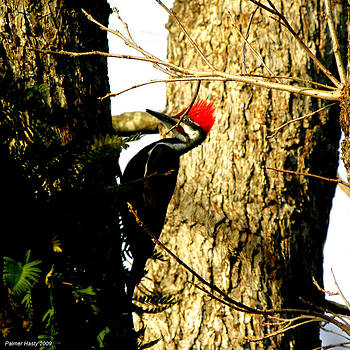 Pileated Woodpecker Rare Appearance by Palmer Hasty