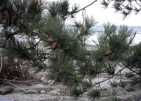 Kate Gallagher - Pine Cones on the Ocean