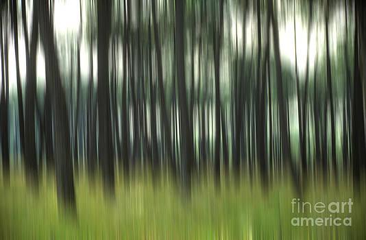BERNARD JAUBERT - Pine forest.Blurred