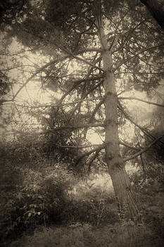 Pine In Sepia Tone by Peter Fodor