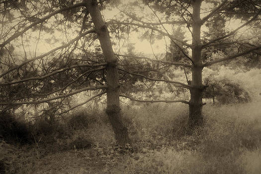 Pine trees in sepia tone by Peter Fodor