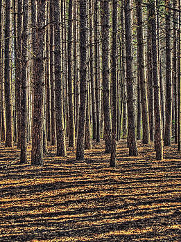 Pines and Shadows by Claudio Bacinello