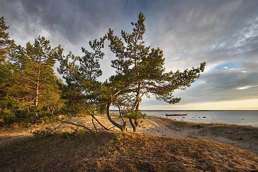Pines on the beach by Anna Grigorjeva
